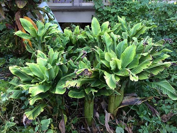 Como cultivar Banana