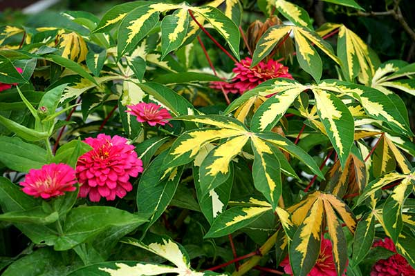Flores da carima