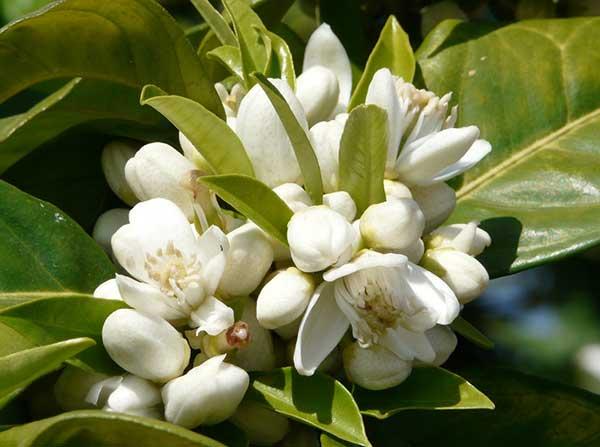 Flores do Citrus sinensis