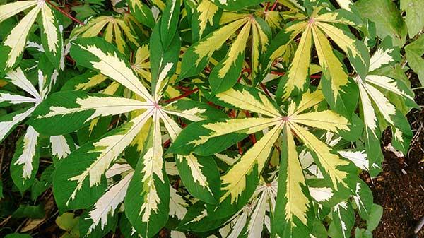 Folhas da Manihot esculenta