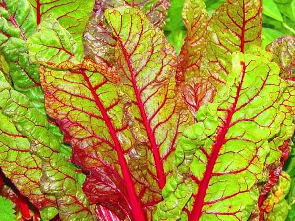Folhas de Beta vulgaris esculenta