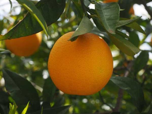 Fruto do Citrus sinensis