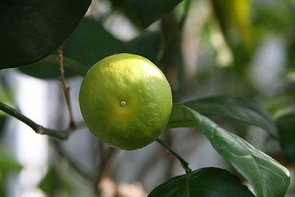 Frutos da Laranjeira