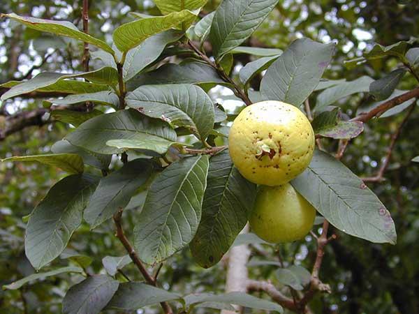Frutos de Guava