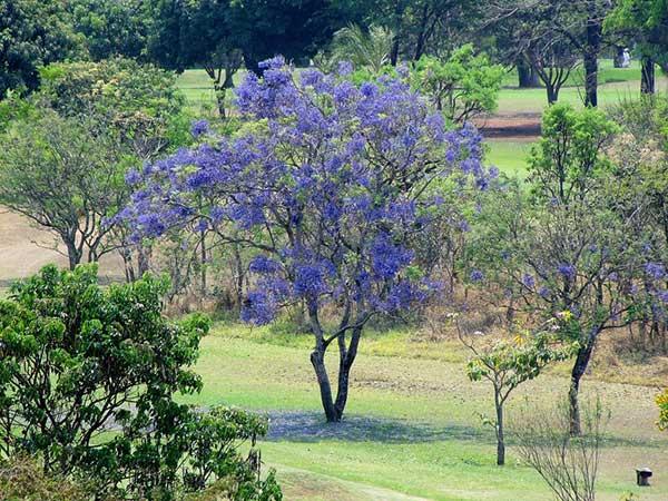 Jacaranda Mimoso 2