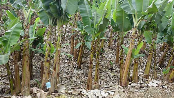 Plantacao de Musa spp