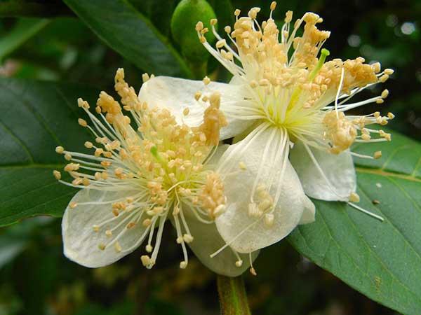 Plantacao de Psidium guajava