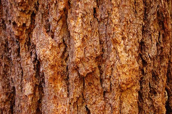 Sequoia Costeira 1