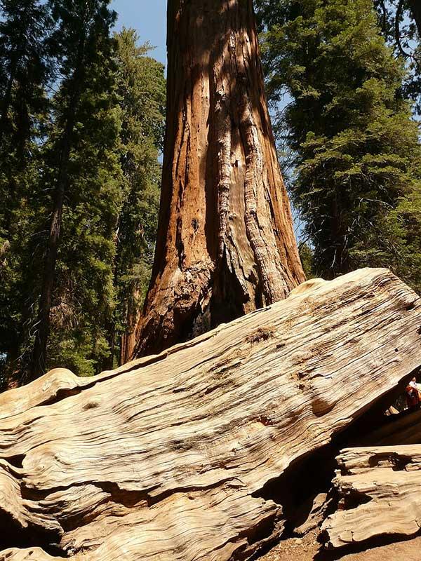Sequoia Costeira 2