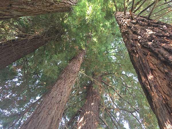 Sequoia Costeira 3