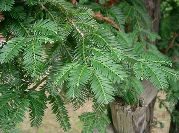 Sequoia Costeira 5
