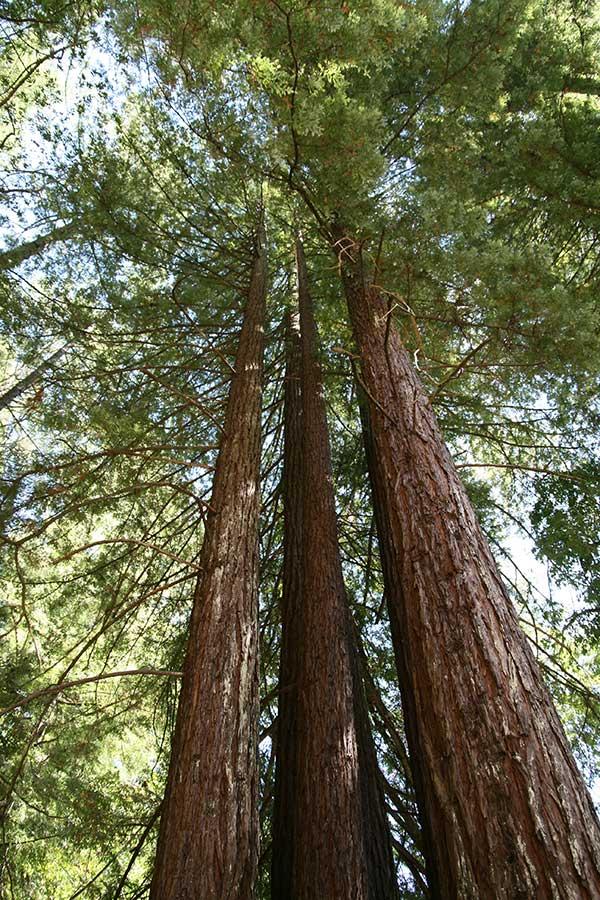 Sequoia Costeira