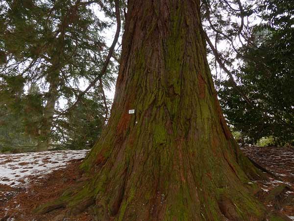 Sequoia Gigante 1