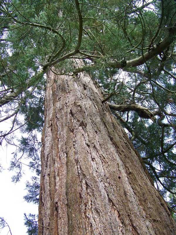 Sequoia Gigante 2