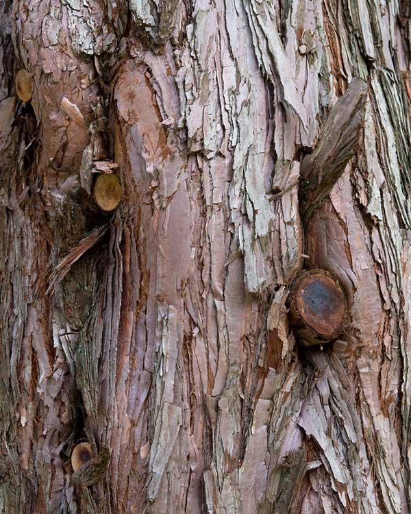 Sequoia Gigante 3