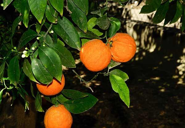 como cuidar de laranja