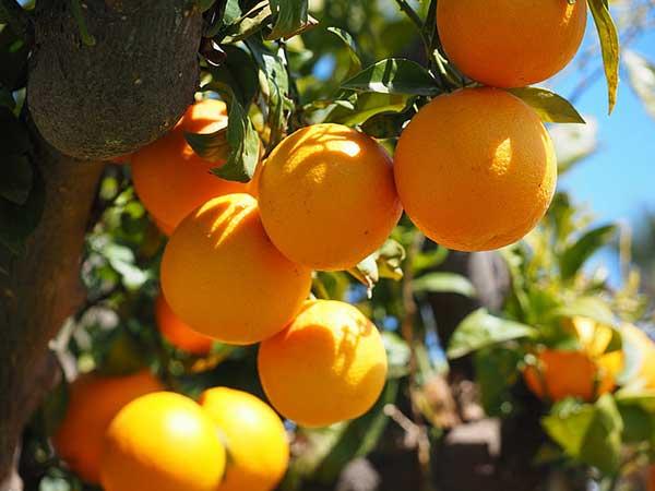 como cultivar laranja