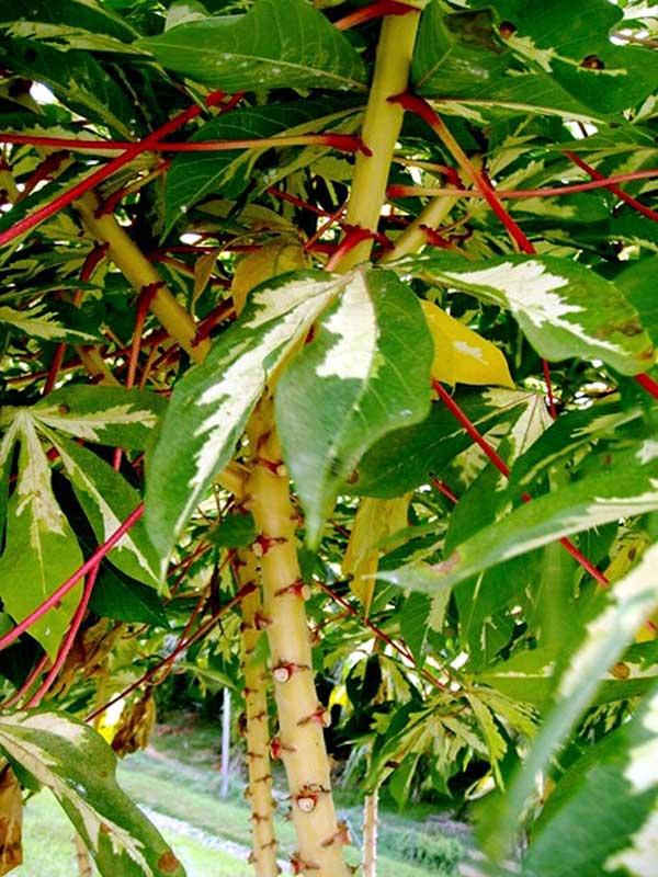 como cultivar mandioca