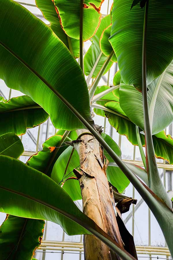 como plantar bananeira