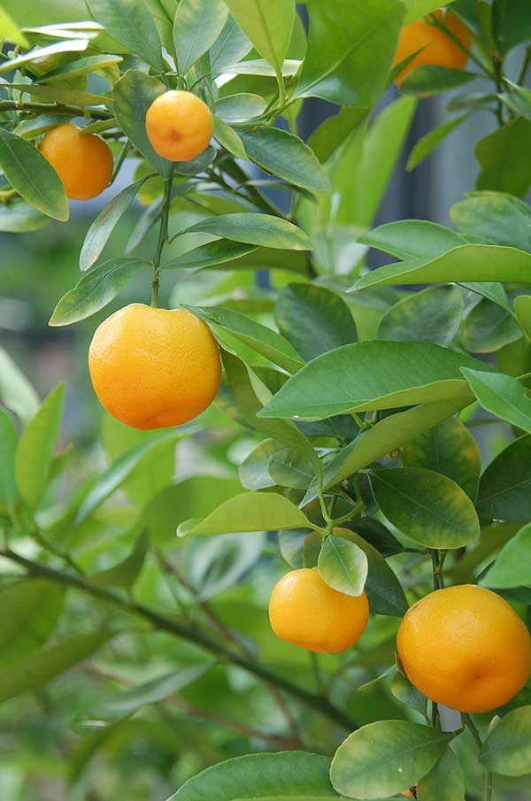 como plantar laranja