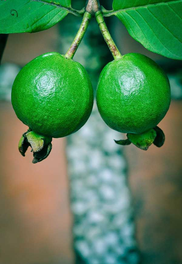cultivar goiabas
