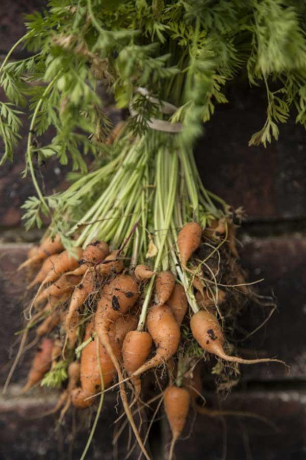 cultivo de Cenoura na horta