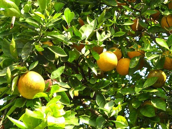 cultivo de laranja