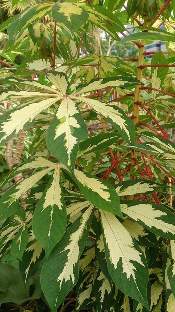 folhas de macaxeira 576x1024