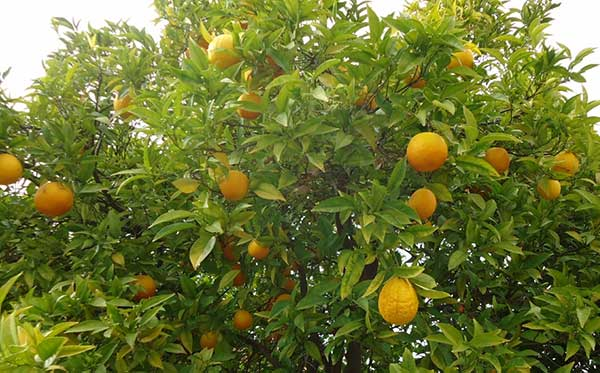 fruta citrica