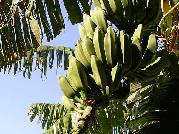 frutos prontos para colheita