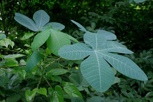 plantacao de mandioca