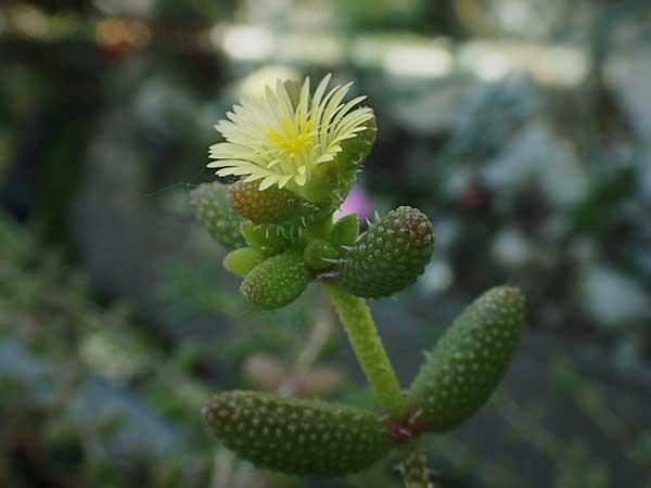 plantar suculenta