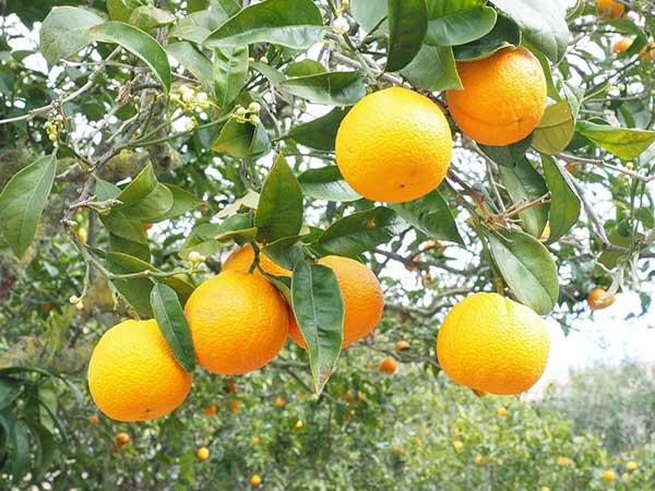 tutorial de como plantar laranja