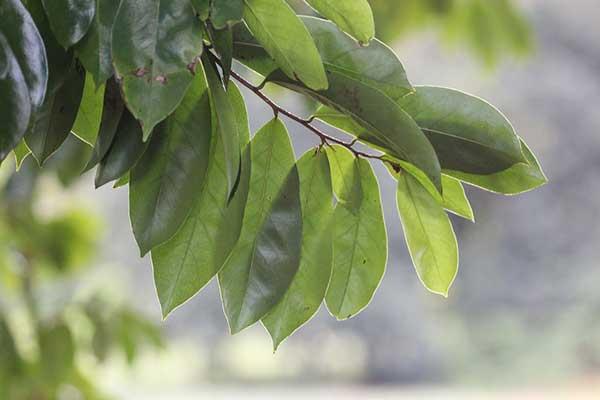 folhas da planta