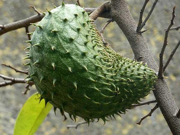 frutos grandes e verdes